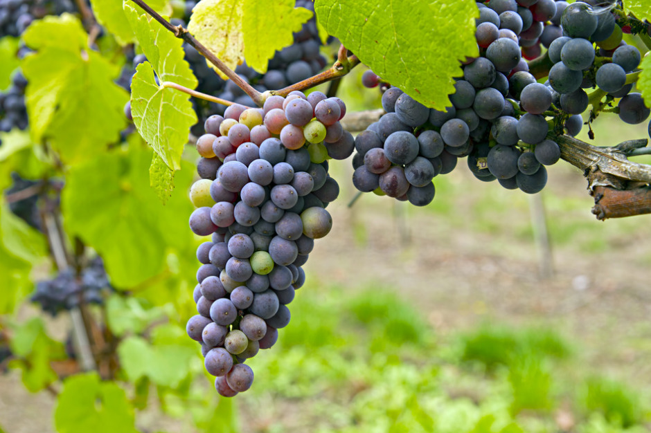 Red Wine Vineyard 2